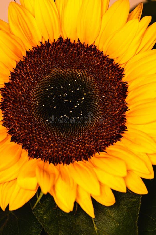 Vintage sunflowers texture stock photos