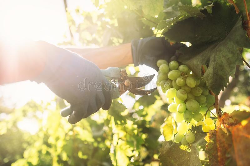 Vintage time. Close up image hands with scissors cutting a grape bunches stock photography