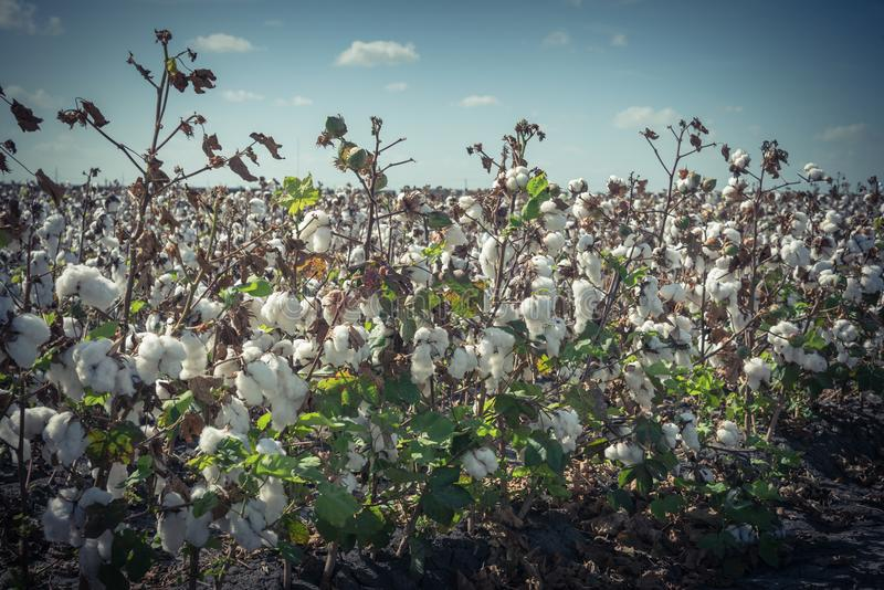 Row of cotton fields ready for harvesting in South Texas, USA. Vintage tone close-up cotton bud stem on fields ready for harvesting in Corpus Christi, Texas, USA royalty free stock image
