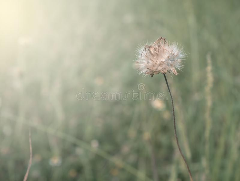 Vintage tone grass flower in meadow summer.  stock images