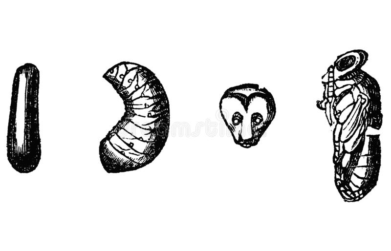 Vintage Vector Drawing or Antique Engraving Illustration of Stages of Development of Honey Bee Pupae - Egg and Larvae royalty free illustration