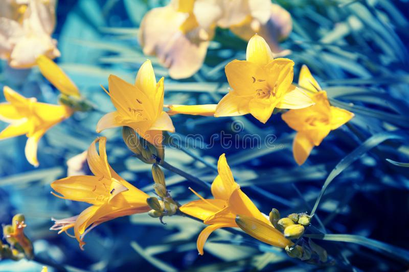 Vintage wild yellow lily flowers stock images