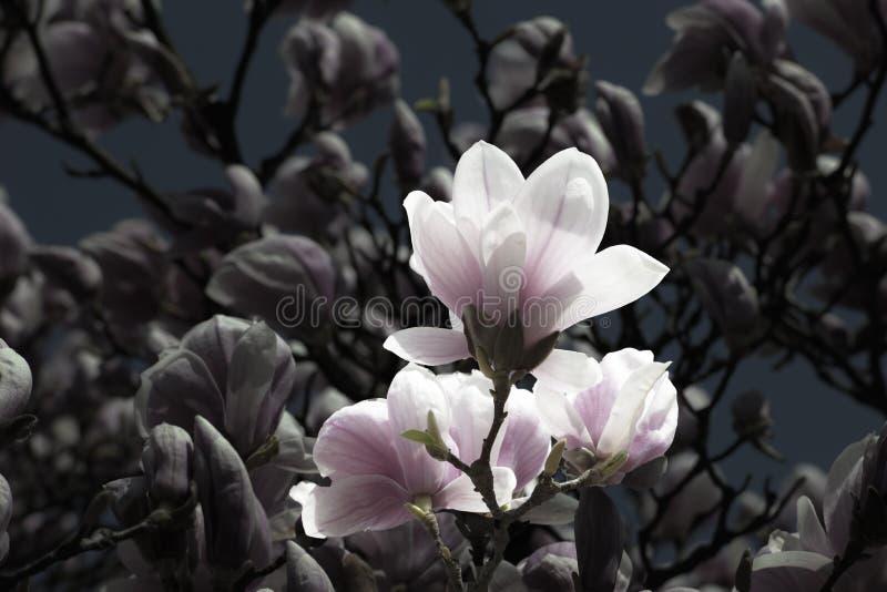 Download Vintaged Magnolias Royalty Free Stock Photo - Image: 30431005