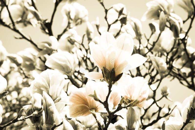 Vintaged magnolior arkivfoto