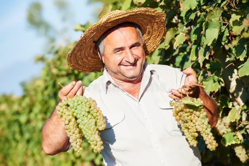 Vintager zbiera winogrona obrazy royalty free