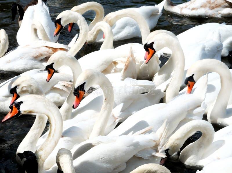 Vinte cisnes junto fotos de stock