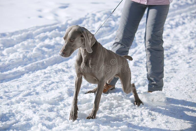 Vinter för jaktpekareweimaraner i snön arkivfoto