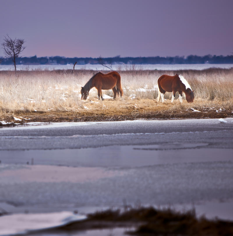 vinter för md för assateaguehästö wild royaltyfria bilder