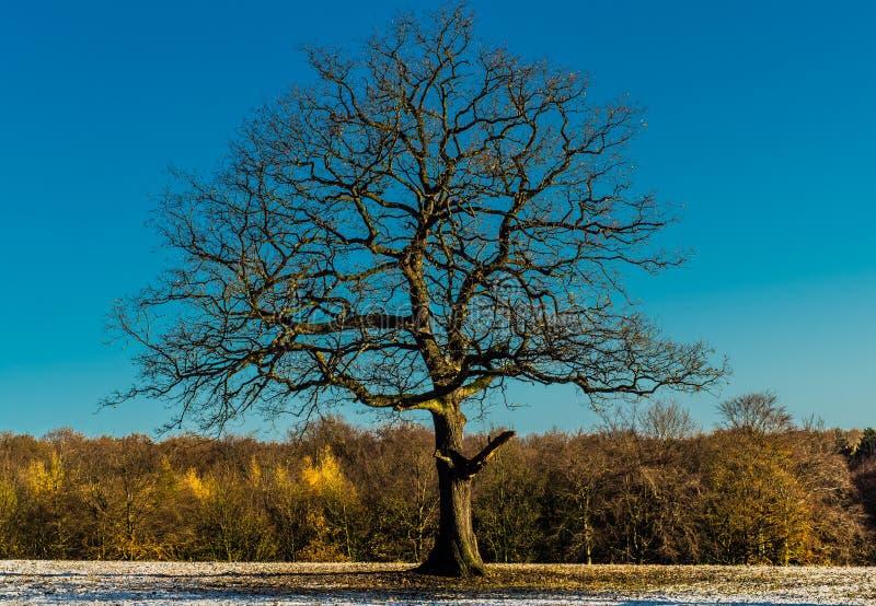 vinter för oaktree arkivfoto
