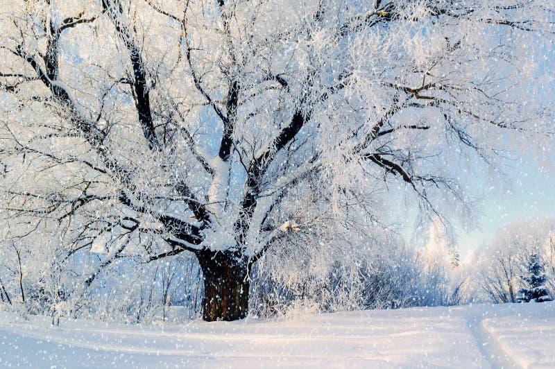 vinter för skognatursun Vinterskoglandskap i lövfällande frostigt träd för tidig vintermorgon under snöfall och varmt solljus royaltyfria bilder