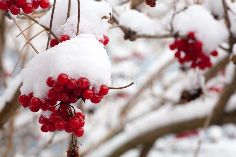 Vinter fryst Viburnum under snö Viburnum i snön första snow Höst och snö royaltyfria foton