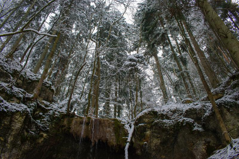 Vinter och nytt insnöat en skog med högväxta träd i Schweiz fotografering för bildbyråer