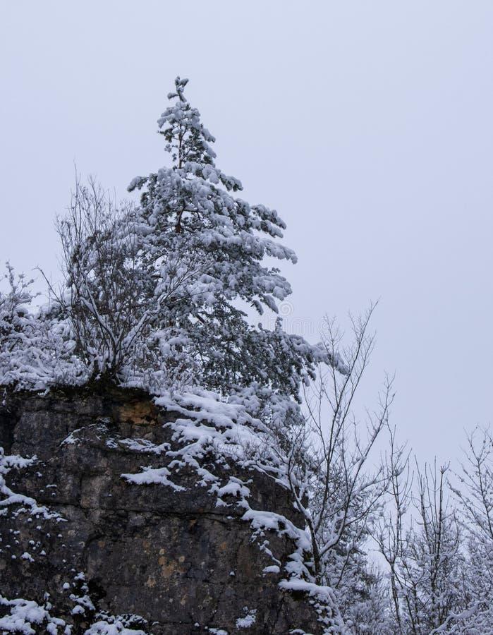 Vinter och nytt insnöat en skog med högväxta träd i Schweiz royaltyfria foton