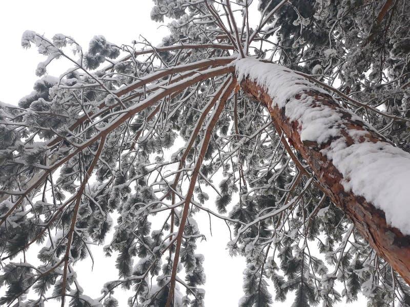 Vinter Sikten från botten av ett stort sörjer trädet som täckas med snö fotografering för bildbyråer