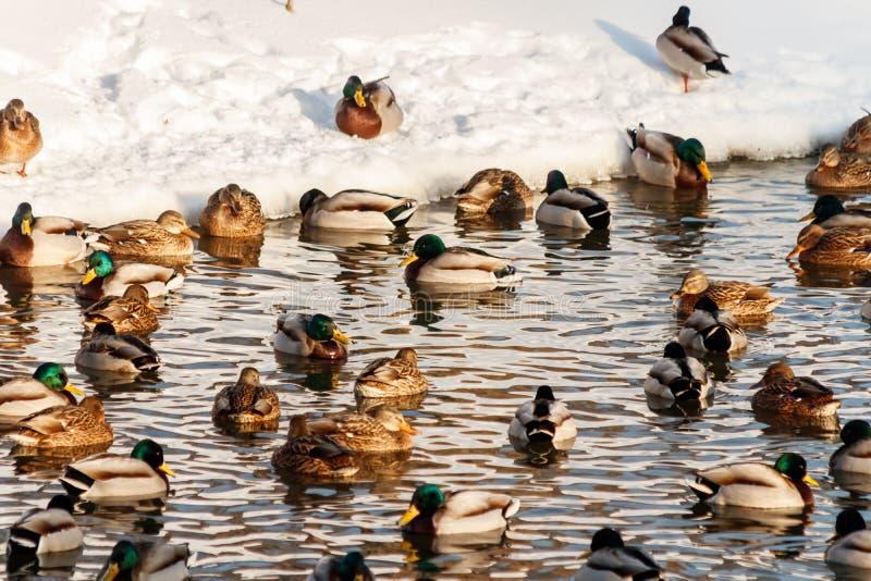 Vinter sjö med änder vid svanar på snö fotografering för bildbyråer