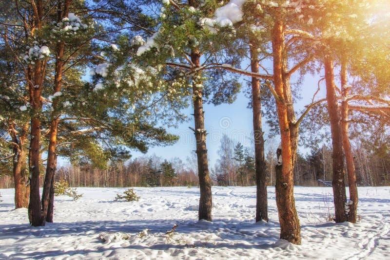 Vinter Solig vinterdag i skogjultid December snöig natur räknat sörja snowtrees royaltyfria bilder