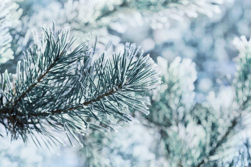 Vinterbakgrund av blått sörjer filialen i snön och glaserar på en kall dag Orange blomningblomma i makrofotografi arkivbilder