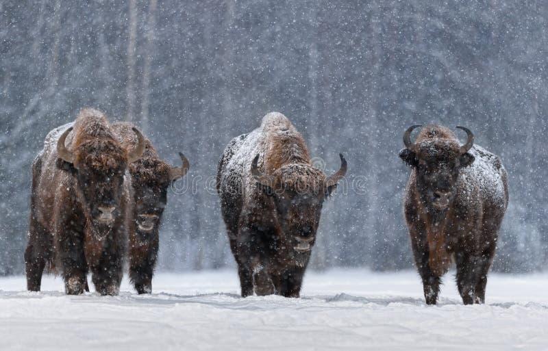 Vinterbild med fyra Aurochs- eller Bison Bonasus, den sista företrädaren för vilda tjurar i Europa. Arodactyl, europeisk utrotn royaltyfria bilder