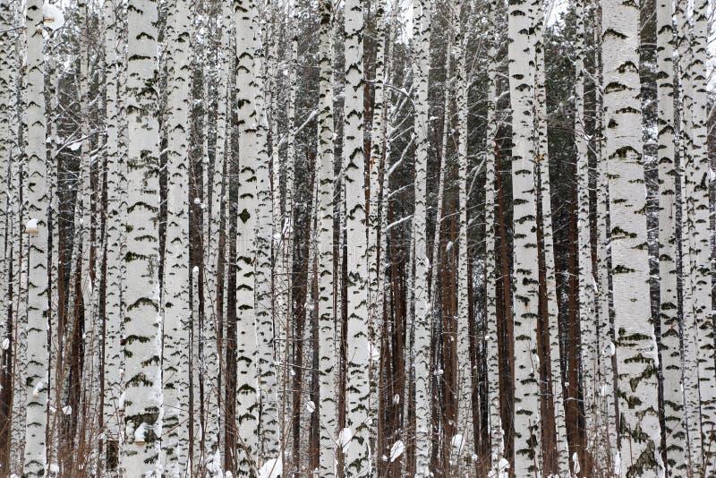 Vinterbjörkskog royaltyfri bild