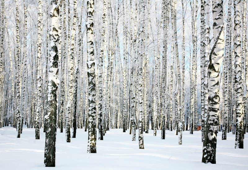 Vinterbjörkskog fotografering för bildbyråer