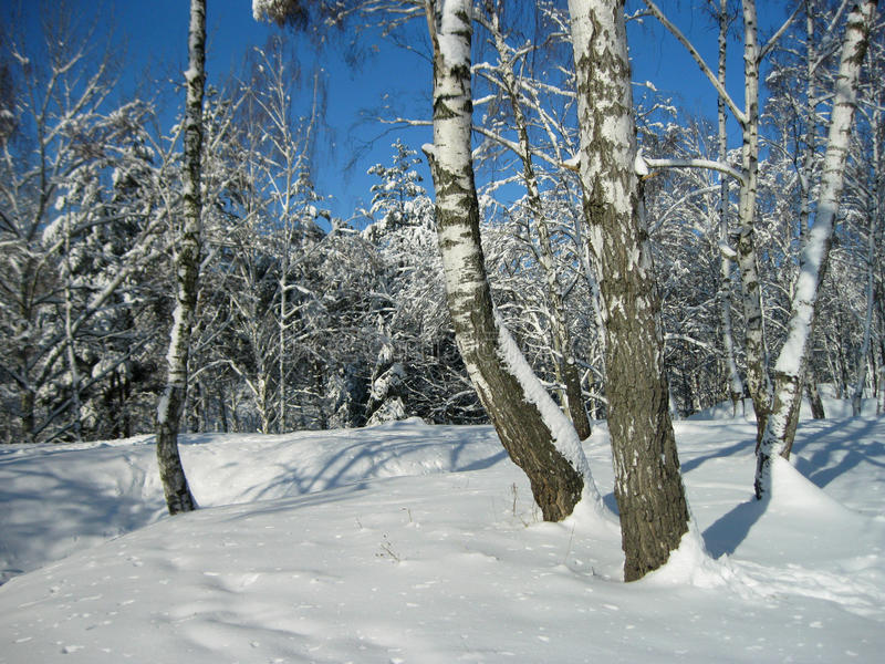 Vinterbjörkskog royaltyfria bilder