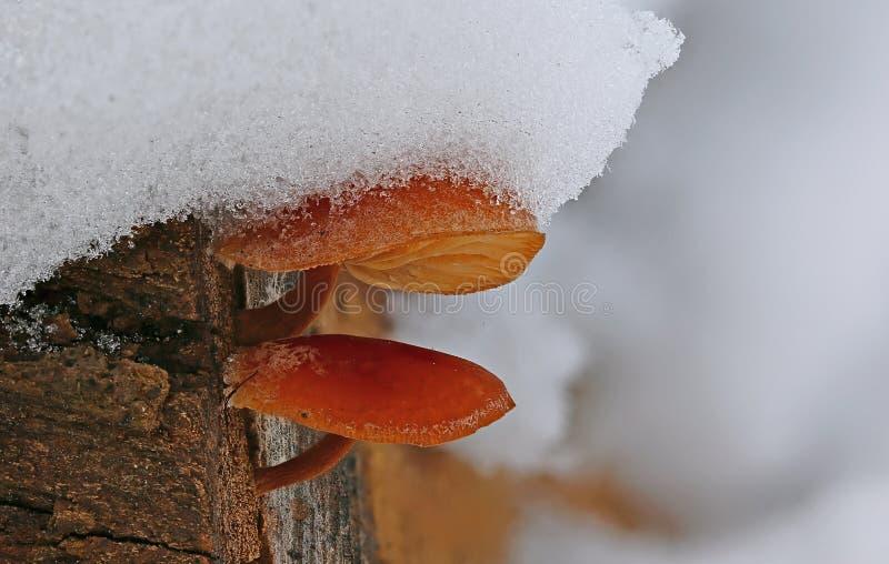 Vinterchampinjoner under mjuk snö arkivfoton