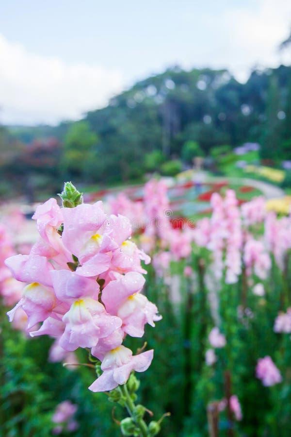 Vinterfärger som blommar rosa blommor med morgondagg i den tropiska trädgården, blommaträdgården, gjorde suddig bakgrunder Doi Tu royaltyfri foto