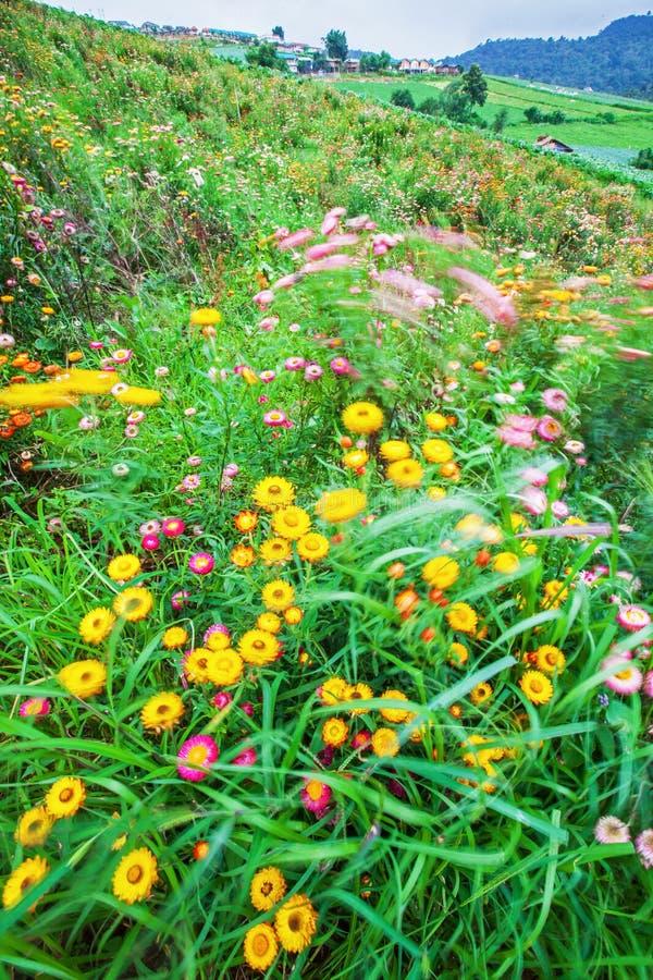 Vinterfärger som blommar tusenskönan i en dal, olika färger av papperstusenskönan, är i blom, grön äng för suddighet och bybakgru royaltyfri fotografi