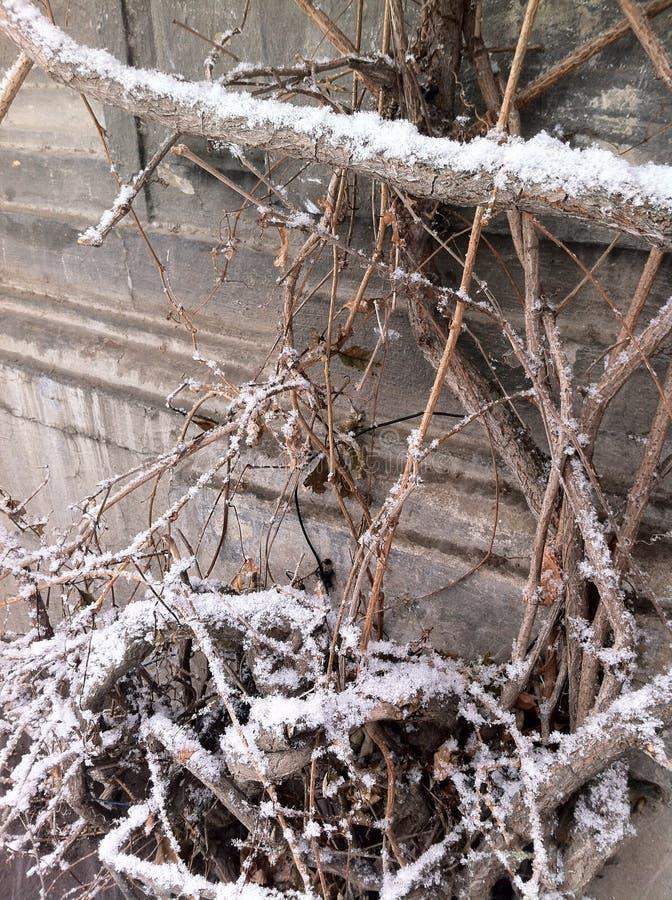 Vinterfilialer som täckas med snö fotografering för bildbyråer