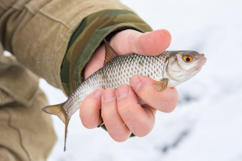 Vinterfiske från is Fångade en fisk - en mört arkivbilder
