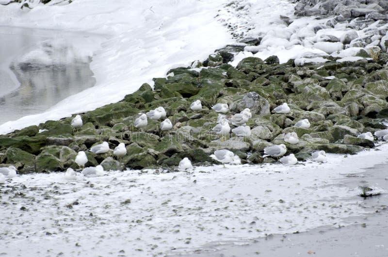 Vinterfiskmåsar royaltyfri fotografi