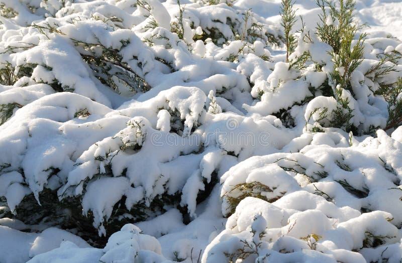 Vintergrön buske som täckas med snö arkivfoto