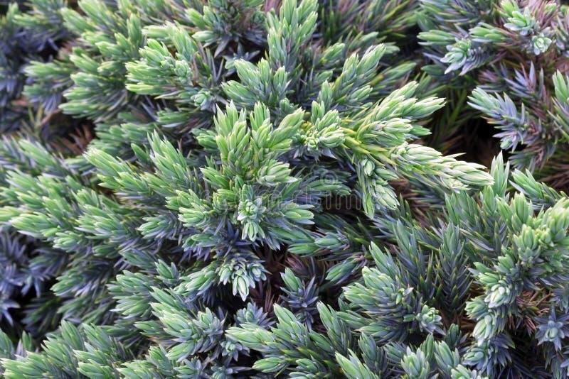 Vintergrön enbakgrund Ett foto av busken med gröna visare Communis dekorativa taggar av juniperusen, treetop kantar royaltyfri foto
