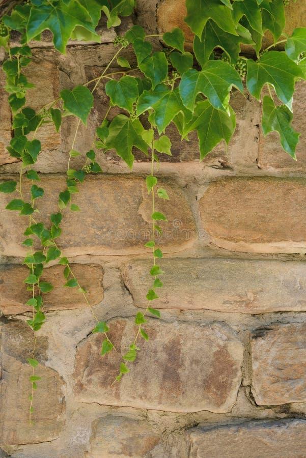 Vintergrön lövverk för murgröna på den gamla tegelstenhusväggen arkivbild