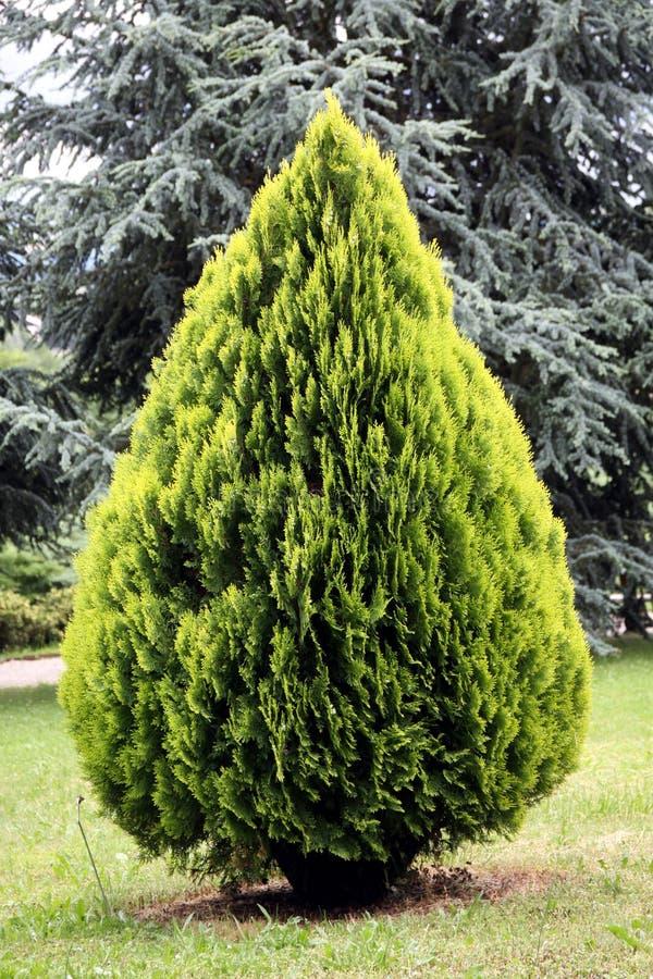 vintergrön orientalisthuja för barrträd royaltyfri fotografi
