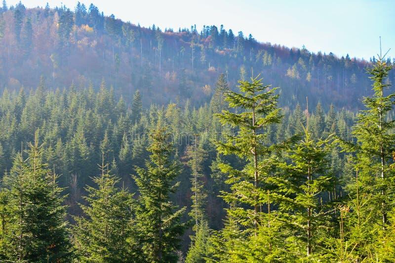 Vintergrön skog i Carpathian berg, Ukraina Lopp ecotourism arkivbilder