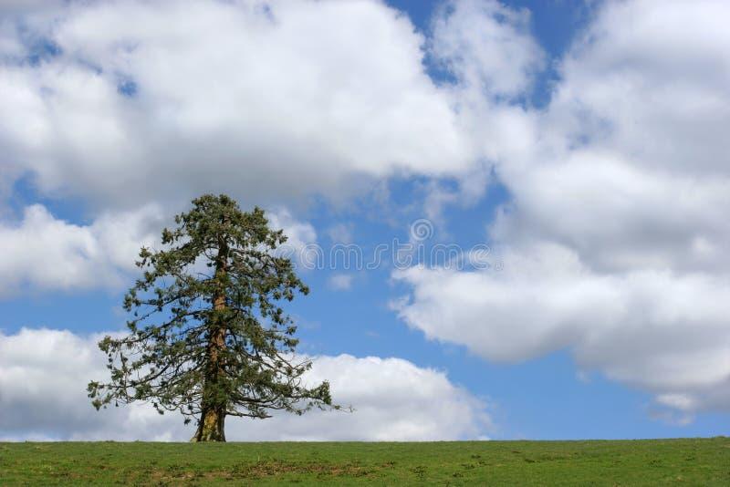 vintergrön tree fotografering för bildbyråer