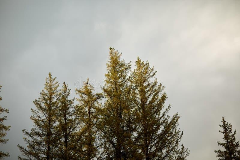 Vintergröna barrträd mot en grå molnig himmel royaltyfri foto