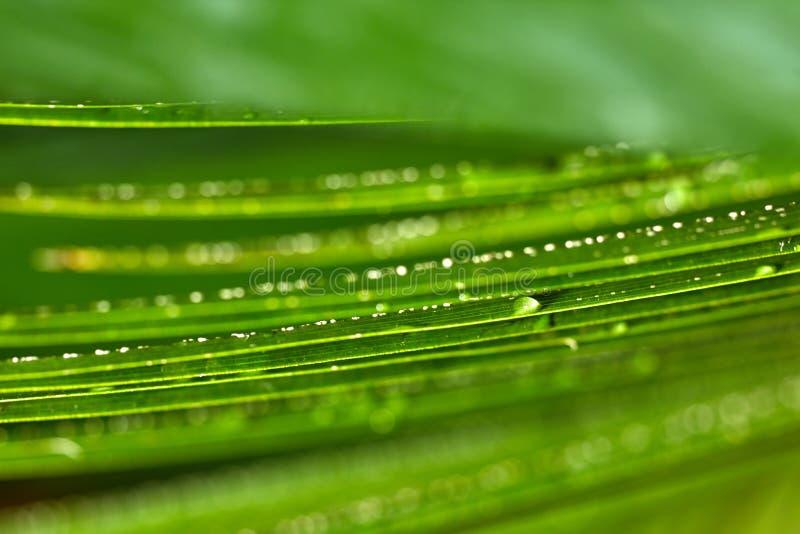 Vintergröna palmblad för närbild med små droppar av vatten, grunt djup av fältet tropisk bakgrundsväxt arkivfoto