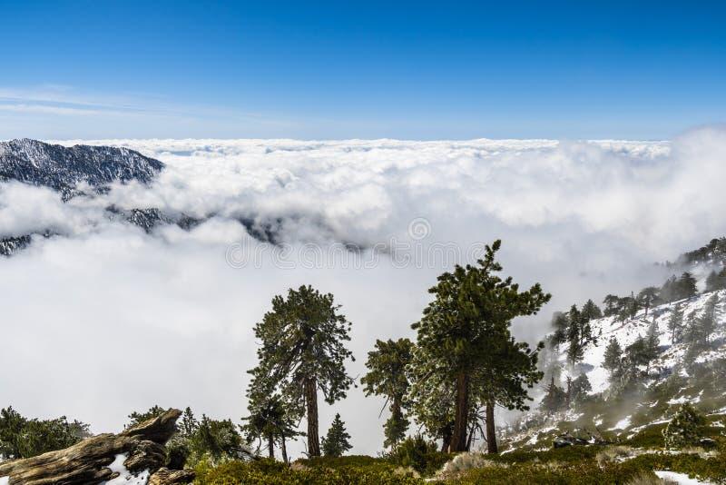 Vintergröna träd som är höga på berget; hav av vita moln i bakgrunden som täcker dalen, montering San Antonio (Mt Baldy), Los arkivfoton