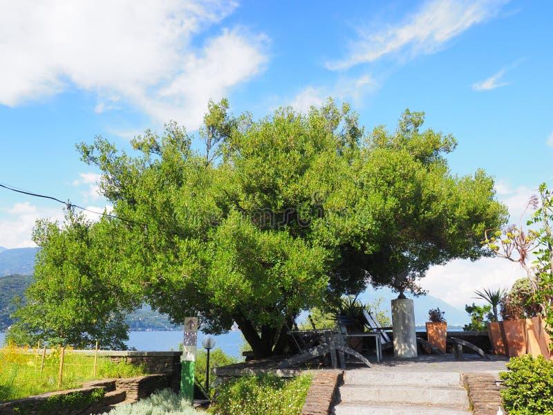 Vintergrönt exotiskt träd på Maggiore för sjö för Brissago ö det schweiziska near landskapet i Schweiz royaltyfri bild