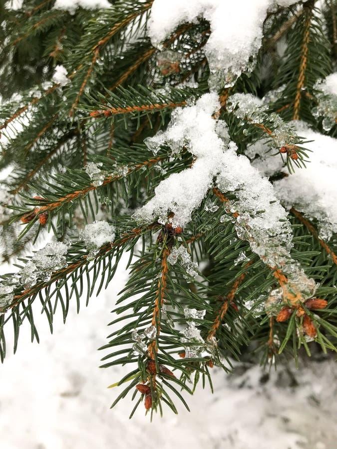 Vintergrönt träd med is och snö på dess filialer royaltyfri fotografi