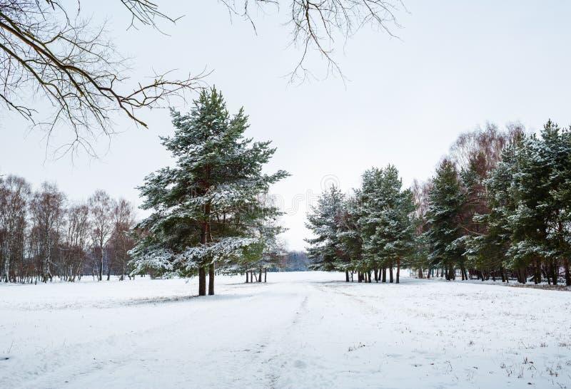 Vintergranträd fotografering för bildbyråer