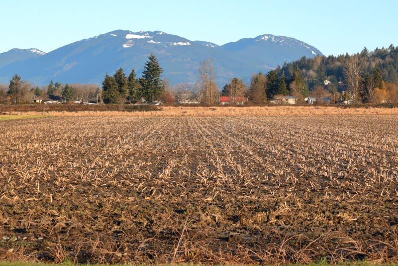 Vinterhavreskäggstubb och lantgård arkivfoton