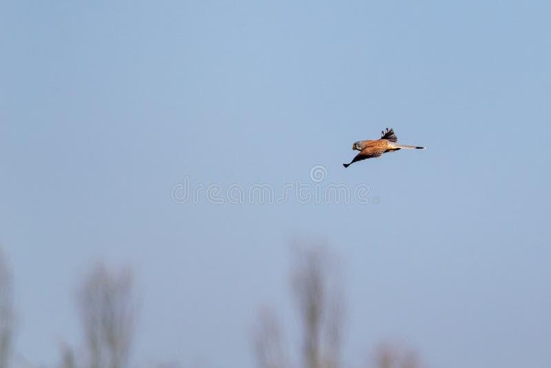 Vinterhimlar och fågel av den rovtornfalkFalco tinnunculusen i flykten royaltyfria foton