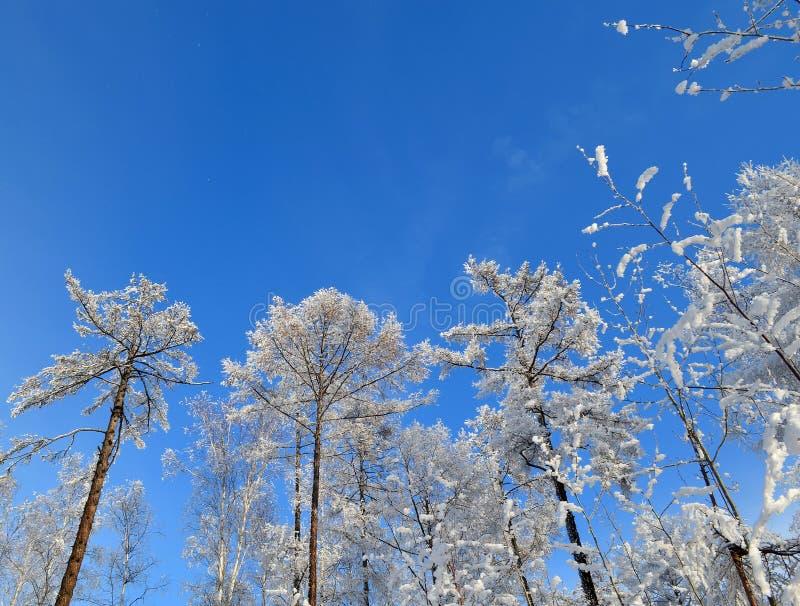 Vinterhimmel på bakgrunden av snöfilialer fotografering för bildbyråer