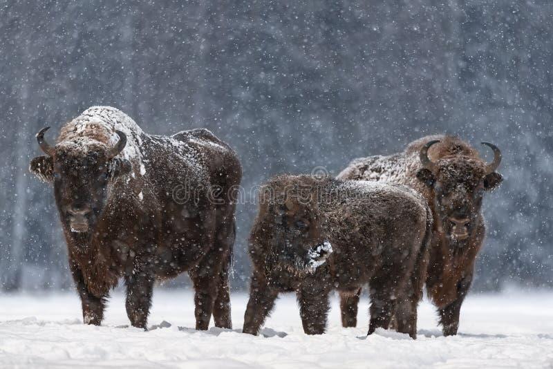Vinterjulbild med brun sambandsfamilj eller Bison Bonasus Calf med mamma, täckt med snö CrustHuge European royaltyfri fotografi
