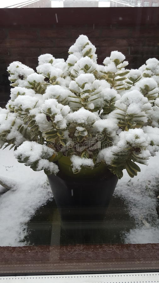 Vinterkruka royaltyfri bild