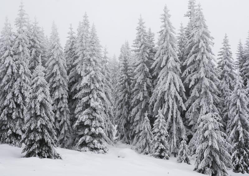 Vinterlandskap av en pinjeskog i bergen Träd är mycket högväxta och täckte med ny snö royaltyfria foton