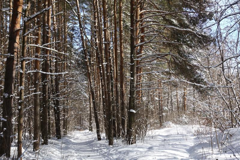 Vinterlandskap: insnöat busksnåret av skogen royaltyfri bild
